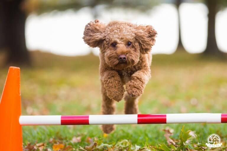 Pups4Fun dog Jasper jumping